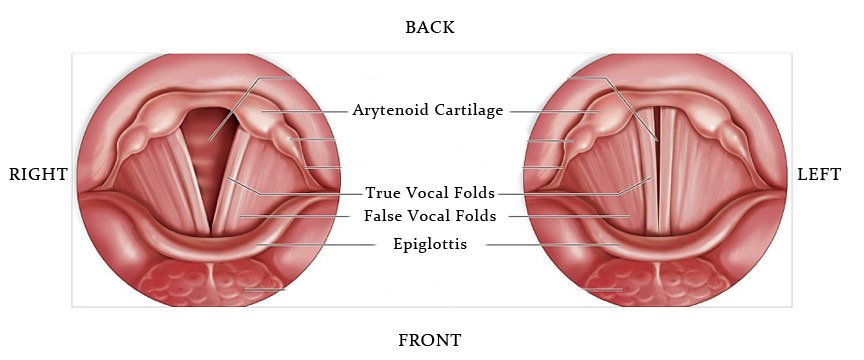 diagram showing the vocal chords and their parts