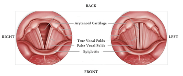 diagram of vocal chords